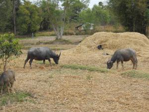 Water buffalo in the back yard rice paddy!