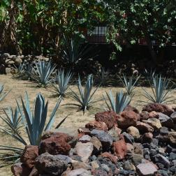 Blue Agave plants